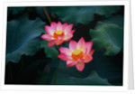 Lotus Flowers by Corbis
