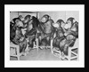 Chimpanzees Drinking Milk by Corbis