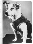 Dog Wearing Sweater by Corbis