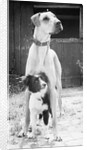 Small Dog Standing Under Great Dane by Corbis