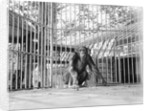Chimpanzee in a Cage by Corbis