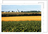 Cornfield with Church in Background by Corbis