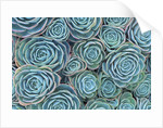Succulents by Corbis