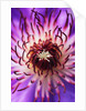 Detail of Clematis Flower by Corbis