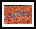 Field of Bluebonnets and Paint Brush by Corbis