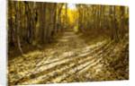 Aspens Lining Kebler Pass Road by Corbis