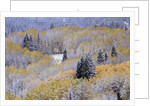 Aspens and Firs Blanketed with Snow by Corbis