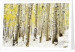 Aspen Grove in Winter by Corbis