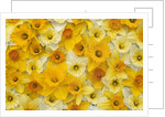 Blooming Daffodils by Corbis