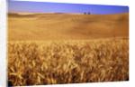 Rolling Wheat Fields by Corbis