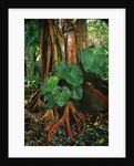 Anthurium Leaves and Red Mangrove by Corbis