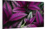 Coleus Variety at Casa Orquideas Botanical Garden by Corbis
