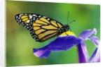 Monarch Butterfly on a Dutch Iris by Corbis