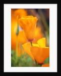 California Poppies by Corbis