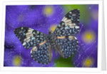 Hamadryas Butterfly Caught in a Spiderweb by Corbis