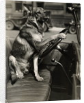 German Shepherd Driving a Car by Corbis