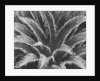 Crown of a Palm Tree by Corbis