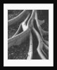 Banyan Tree Roots by Corbis