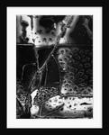 Broken Glass, 1955 by Corbis