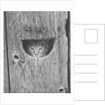 Cat Peeking Out from Barn by Corbis