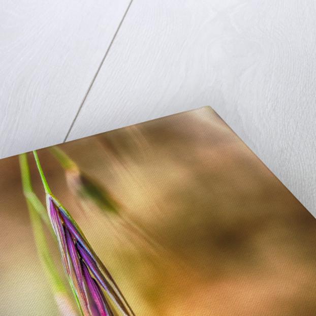 A violleter Halm by Katarzyna Kuban