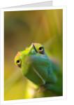 chameleon by Wolfgang Simlinger