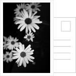 Flowers in black&white by Phil Payne