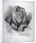 Nero, a lion from Senegal, now exhibiting in the Tower of London by Edwin Henry Landseer