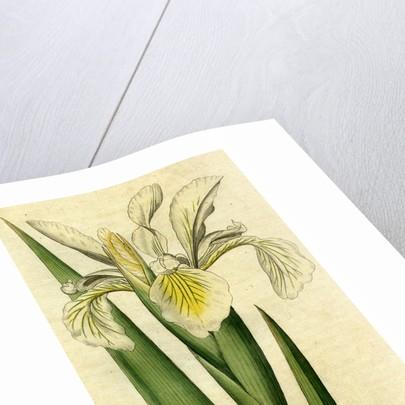 Painted botanical illustration of Tall Iris, Iris Ochroleuca by unknown