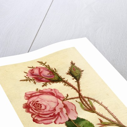 Painted botanical illustration of Moss Rose, Rosa Muscosa by unknown