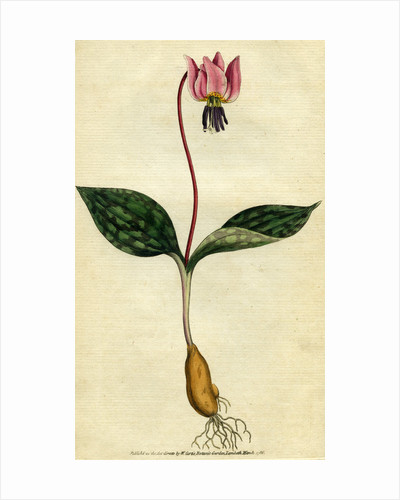 Painted botanical illustration of Dogs-Tooth Violet, Erythronium Dens Canis by unknown