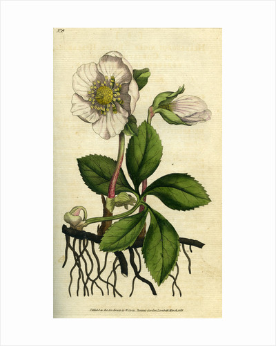 Painted botanical illustration of Black Hellebore or Christmas Rose, Helleborus Niger by unknown
