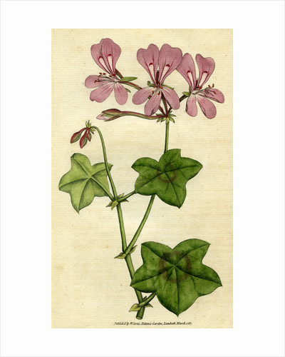 Painted botanical illustration of Ivy- leaved Geranium, Geranium Peltatum by unknown