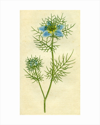 Painted botanical illustration of Love in the Mist or Garden Fennel-flower, Nigella Damascena by unknown