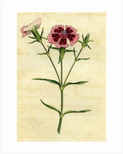 Painted botanical illustration of China or Indian Pink, Dianthus Chinensis by unknown