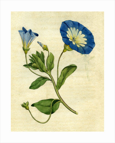 Painted botanical illustration of Small Convolvulus or Bindweed, Convolvuls Tricolor by unknown