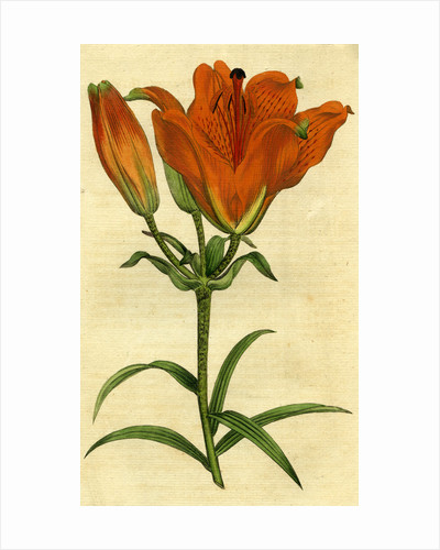 Painted botanical illustration of Orange Lily, Lilium Bulbiferum by unknown