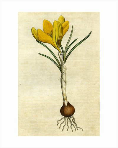 Painted botanical illustration of Spring Crocus, Crocus Vernus by unknown