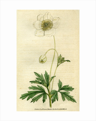 Painted botanical illustration of Snowdrop or Woodland Anemony, Anemone Sylvestris by unknown