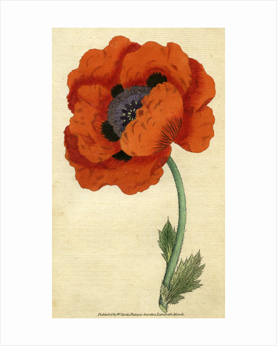 Painted botanical illustration of the Eastern Poppy, Papaver Orientale by unknown