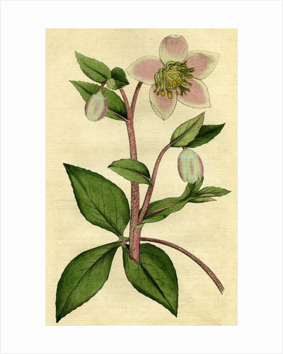 Painted botanical illustration of Livid or Purple Hellebore, Helleborus Lividus by unknown