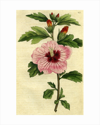 Painted botanical illustration of Syrian Hibiscus, Althaea Frutex or Hibiscus Syriacus by unknown