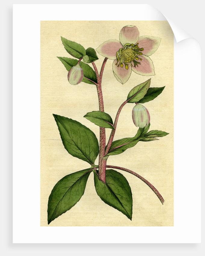 Painted botanical illustration of Livid or Purple Hellebore, Helleborus Lividus by unknown