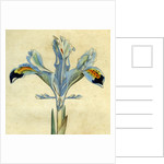 Painted botanical illustration of Persian Iris, Iris Persica by unknown
