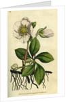 Painted botanical illustration of Black Hellebore or Christmas Rose, Helleborus Niger by unknown