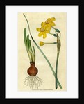 Painted botanical illustration of Common Jonquil, Narcissus Jonquilla by unknown