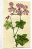 Painted botanical illustration of Ivy- leaved Geranium, Geranium Peltatum by unknown