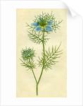 Painted botanical illustration of Love in the Mist or Garden Fennel-flower, Nigella Damascena by unknown