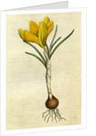 Painted botanical illustration of Spring Crocus, Crocus Vernus by unknown