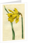 Painted botanical illustration of Siberian Iris, Iris Sibirica by unknown